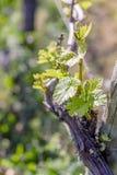 Winograd w wio?nie Potomstwo ziele? opuszcza na starym Francuskim winogradzie Winnicy rolnictwo w wio?nie mi?kkie ogniska, zbli?e obrazy royalty free