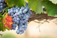 Winograd z bujny, Dojrzali win winogrona na winogradzie Przygotowywającym dla żniwa zdjęcie royalty free