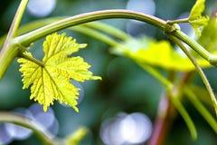 Winograd z młodymi liśćmi z bliska fotografia royalty free