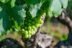 Winogradu dojrzenie w Francuskim winnicy Zdjęcie Royalty Free