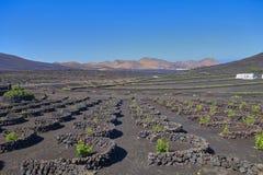 Winogradu dorośnięcie na wyspie Lanzarote w atlantyckim oceanie obraz royalty free
