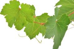 Winogradu liść Obraz Stock