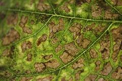 Winogradu liść discolouring w jesieni obraz stock