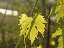 Winogradu liść z ziobro i żyłami zdjęcia stock