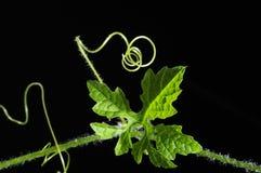 Winogradu liścia zakończenie, czarny tło odizolowywający Fotografia Royalty Free