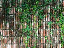 Winogradu pełzacza arywisty rośliny obwieszenie na brown cegła wzoru ścianie Krajobrazowej architektury projekt i Dekoracyjny ogr zdjęcia royalty free