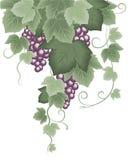 Winogradu winogrono ilustracja wektor