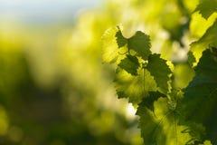 Winogradów liście z ranków światłami Obrazy Stock