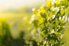 Winogradów liście z ranków światłami Zdjęcie Stock