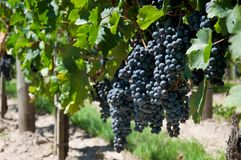 winogrady Obraz Stock