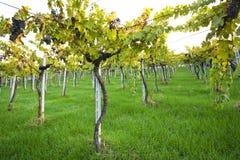 winogrady zdjęcia royalty free