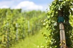 Winogrady Cabernet - Sauvignon Obrazy Stock