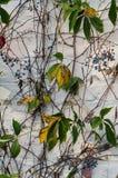 Winogrady i jagody przeciw pastelowej białej cegle zdjęcie royalty free