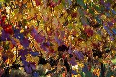 Winogrady i winogrady lambrusco grasparossa castelvetro levizzano zdjęcie royalty free