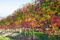 Winogrady i winogrady lambrusco grasparossa castelvetro levizzano obraz royalty free