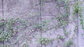 Winogrady na ścianie zdjęcie wideo