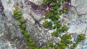 Winogrady na ścianie zdjęcie stock