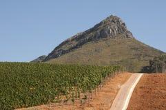 Winogrady r na czerwieni ziemi w Zachodnim przylądku S Afryka Zdjęcia Stock