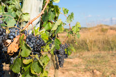 Winogrady w jesieni Zdjęcia Royalty Free