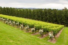 Winogrady w lecie Obraz Stock