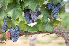 Winogrady z bujny, Dojrzali win winogrona na winogradzie Przygotowywającym dla żniwa zdjęcie stock
