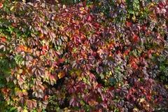 Winogrady z stubarwnymi liśćmi przy jesieni tłem Zdjęcie Stock