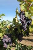 winogron czerwieni winograd Zdjęcie Royalty Free
