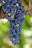 winogron czerwieni winograd Obrazy Stock
