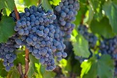 winogron czerwony winogradu wino Zdjęcia Royalty Free