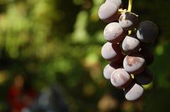 winogron czerwonych Zdjęcia Royalty Free