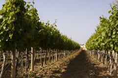 winogron drzewa Obrazy Royalty Free