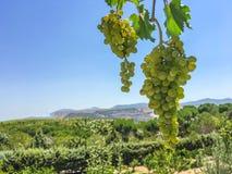 Winogron grona, winogrono adra Zdjęcie Stock