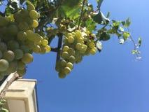 Winogron grona, winogrono adra Fotografia Stock