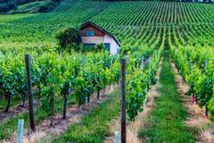 Winogron pola w Niemcy Obraz Stock