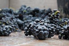 winogron udziałów winnica Fotografia Royalty Free