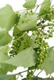 winogron zieleni struktura niedojrzała Zdjęcie Stock