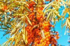 Winogrona świeży pomarańczowy buckthorn jedzenie z liśćmi na gałąź przeciw niebieskiego nieba tłu zdjęcie stock