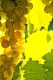 winogrona żółci zdjęcie royalty free