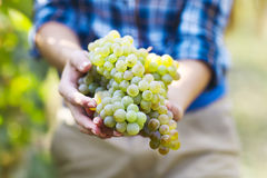 Winogrona żniwa rolnik z świeżo zbierającymi winogronami zdjęcie stock