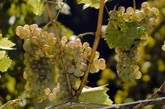winogrona Fotografia Royalty Free