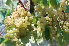 winogrona biały fotografia royalty free