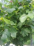 Winogrona crunchy yummy soczysty obraz stock