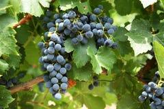winogrona czerwoni Zdjęcie Royalty Free