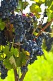 winogrona czerwoni Fotografia Royalty Free