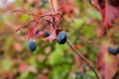 Winogrona dalej z raindrops, kolorowymi Zdjęcia Stock