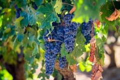 Winogrona dla Minuty Zdjęcia Stock