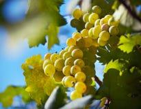 winogrona dojrzali Obraz Royalty Free