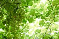 Winogrona dojrzewa na winogradu baldachimu, typowy Abruzzo Obraz Stock