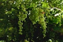 Winogrona dojrzewa na winogradu baldachimu, typowy Abruzzo Fotografia Stock