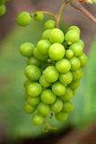 winogrona dziki zielony zdjęcie royalty free